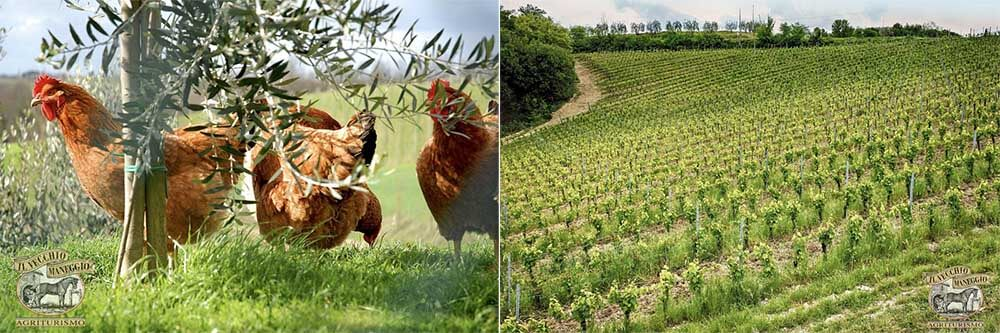 Scenes around the farm: Free-roaming chickens and vineyards. Photo credit: Il Vecchio Maneggio